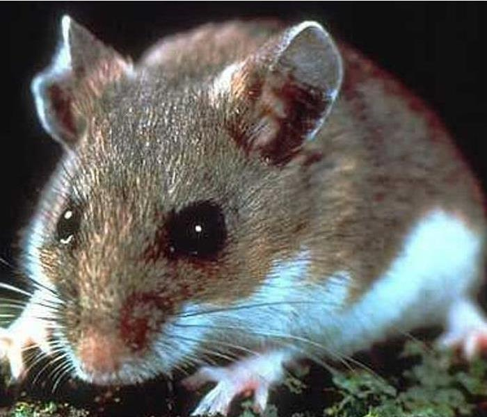 Biohazard Deer Mice and The Hantavirus